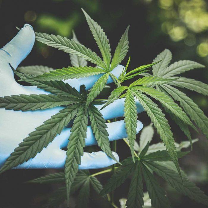 marihuana, kenevir, ot, esrar, haşhaş